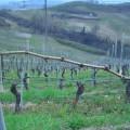 Azienda Agricola Fratelli Abrigo - Lavori in vigneto