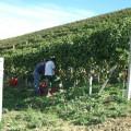 Azienda Agricola Fratelli Abrigo - Vendemmia