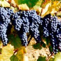 Grapes - Cascina Gramolere