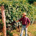 Claudio during an old harvest - Cascina Gramolere