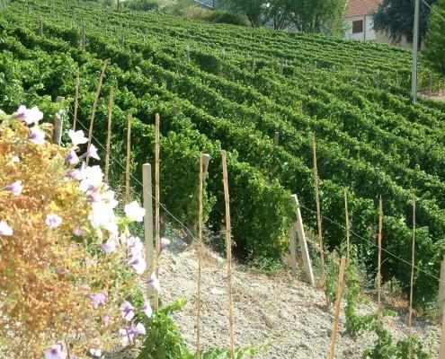 Vineyards - Gatti Piero